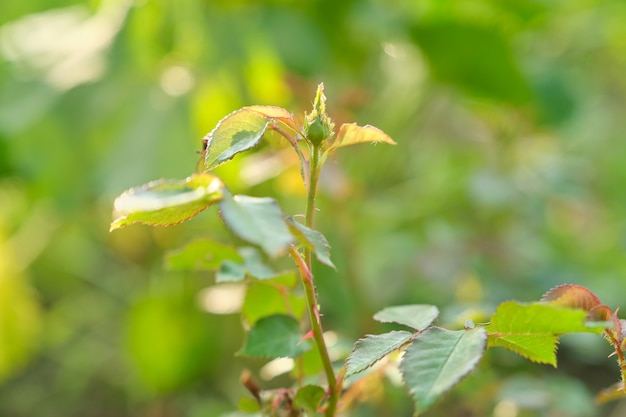 Young spring bush of roses with buds. ants carrying aphids on plant, close-up of insects aphid pests on young branches