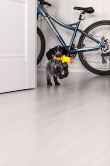 Young springer spaniel dog playing with toy on a floor at home.