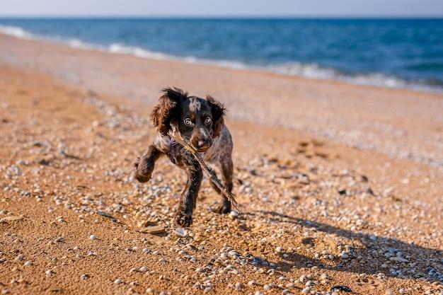 Молодая собака спрингер-спаниеля играет с игрушкой на полу на берегу моря.