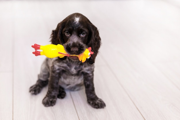 床でおもちゃで遊ぶ若いスプリンガースパニエル犬