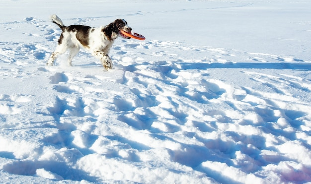 The young springer spaniel plays with disk on snow field