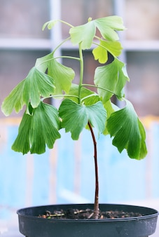Young sprout of ginkgo biloba with big leaves