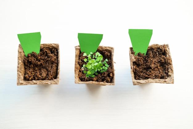 若い泥炭ポットで緑の植物を芽します。空のラベルが付いた3つの泥炭ポットのモックアップ。窓辺で家で食べ物を育てる方法。苗と家庭菜園のためのツール。