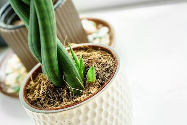 植木鉢に円筒形のサンセビリアの若い芽。