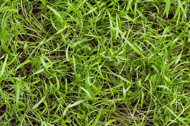Молодые ростки укропа. microgreens веганский и здоровое питание.