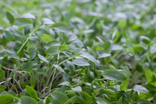 Молодые ростки зелени. микрозелень. шелуха семян на проросших побегах.