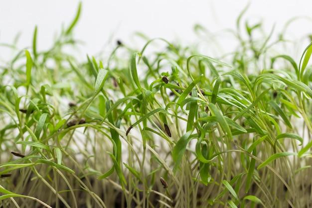 Молодые ростки зелени. шелуха семян на проросших побегах.