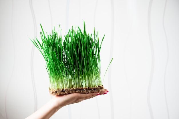 여 대 손에 마이크로 그린 밀의 젊은 콩나물. 집에서 씨앗을 재배합니다. 건강한 식생활.
