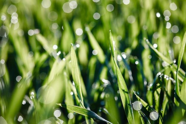 小麦の若い芽、クローズアップビュー。自然の背景