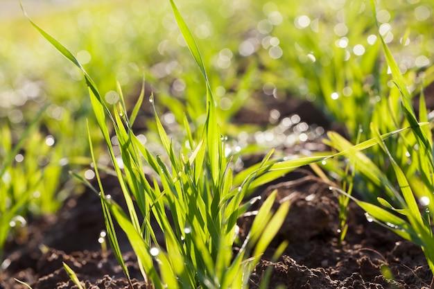 露の滴、夜明けの朝、農地のクローズアップと小麦の若い芽