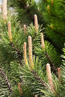 봄에 자라기 시작한 소나무 껍질 아래 어린 콩나물, 공원이나 숲에서 근접 촬영