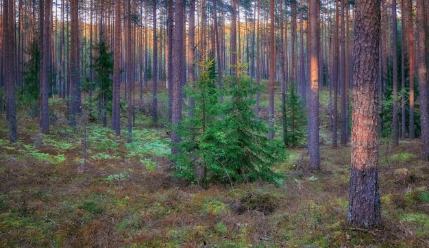 Young spruce trees in a pine summer northern forest