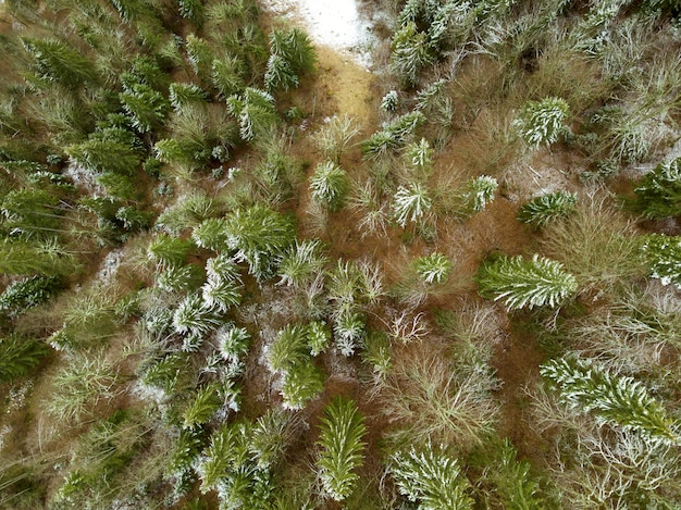 Young spruces on the sand at the beginning of winter. first snow. top view vertically down