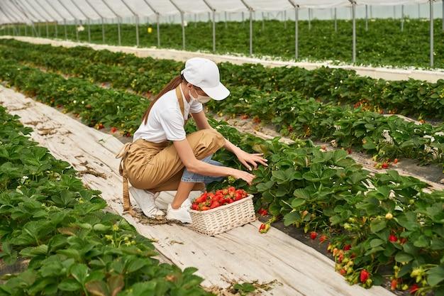 温室で熟したイチゴを摘む若いしゃがむ女性。フェイスマスク、白い帽子、ベージュのエプロンを身に着けている女性の庭師。人の概念、収穫とパンデミック。