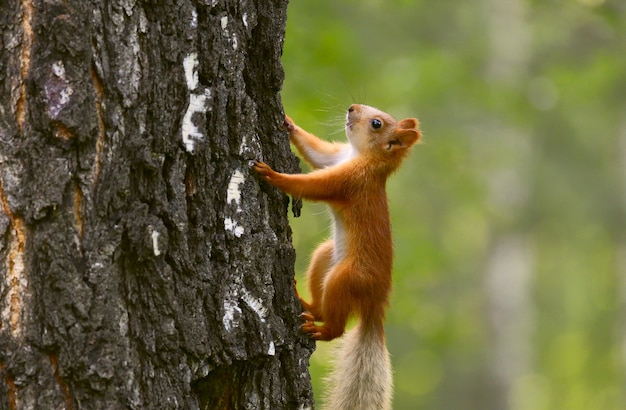 Young squirrel on the bark of a tree closeup side view bright red color children of animals