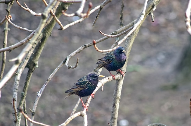 Young starlings sitting on a branch