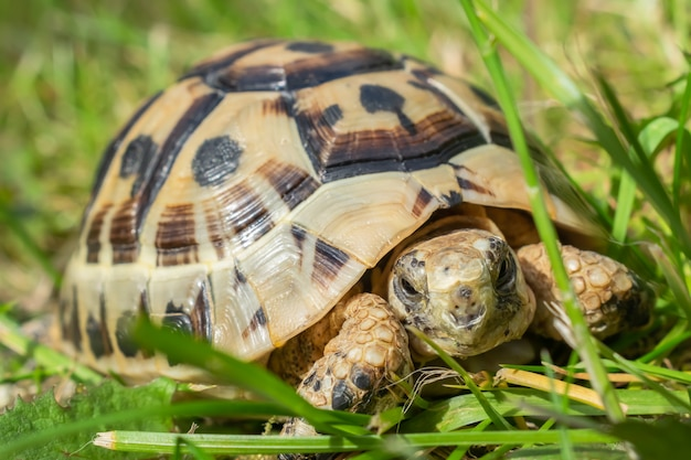 Young steppe tortoise on the green grass.