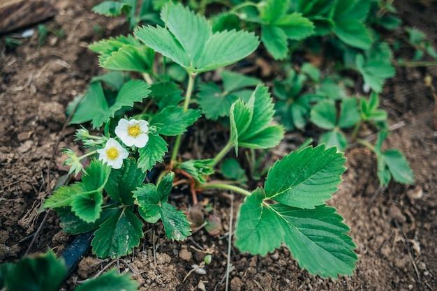 В саду растут молодые кусты клубники