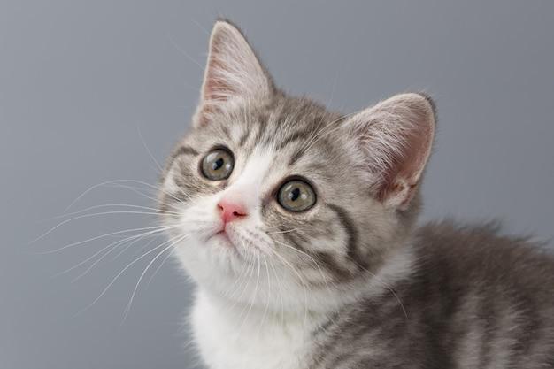 회색 배경에 젊은 줄무늬 스코틀랜드 고양이
