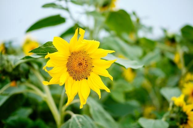 필드 근접 촬영 사진에 성장하는 젊은 해바라기. 아름다운 농업 여름 시즌 자연 유기농 야채 태양 꽃과 식물 녹색 잎. 햇빛 날씨의 날에 농업 경제학 농업 수확