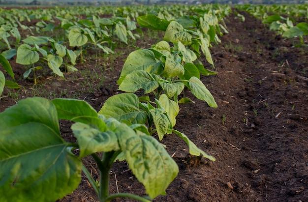 어린 해바라기 식물은 땅에 줄지어 자랍니다.