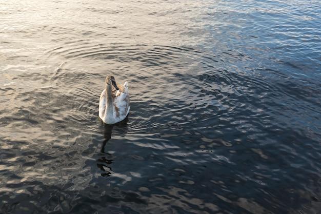 日没時のチューリッヒ湖の若い白鳥。テキスト用のスペースをコピーする