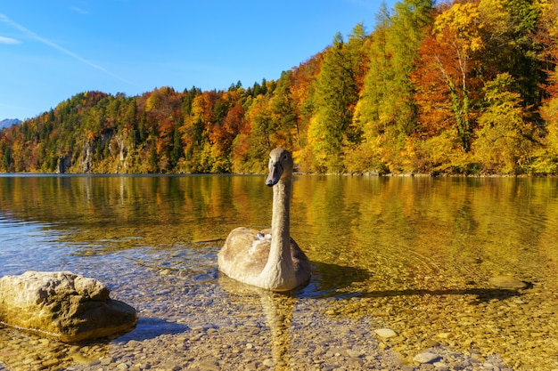 Young swan swims along the shore of a mountain lake on the beautiful autumn day