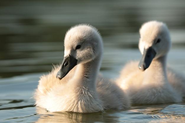 若い白鳥は晴れた朝に母親を追いかけます