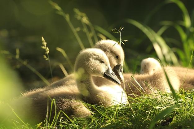 森の池の端で休んでいる若い白鳥
