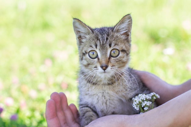Young tabby kitten in hands against a background of green grass.