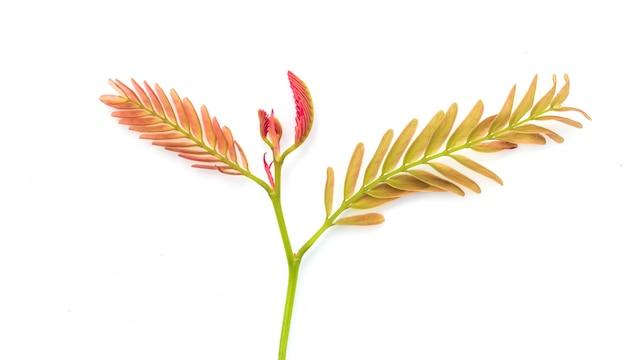 若いタマリンドの葉が分離した白地に茶色の枝