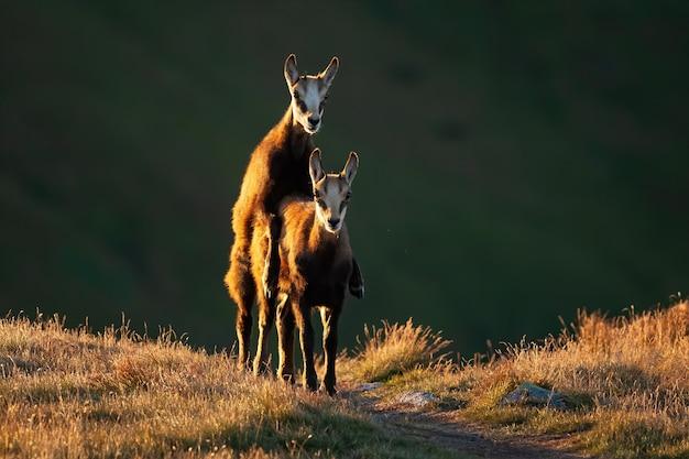 Молодые татры серны спариваются на траве на осеннем закате