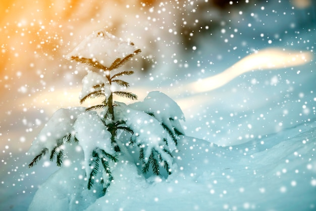 Young tender spruce tree with green needles covered with deep snow and hoarfrost and large snowflakes on blurred blue colorful background