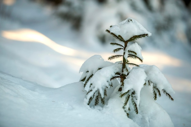 Young tender spruce tree with green needles covered with deep snow and hoarfrost