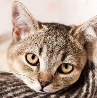 若いサラブレッドの英国のチンチラ猫は嘘をついて休んで、クローズアップ