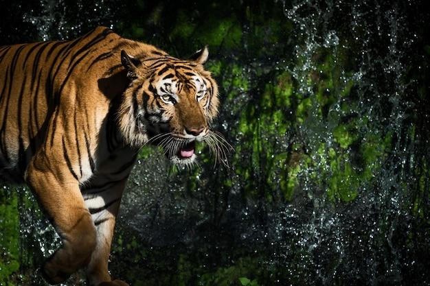 若いトラは自然界で獲物の野生動物を求めて忍び寄っています