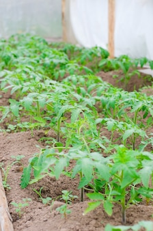 Young tomato bushes in the ground in the greenhouse.