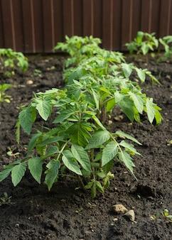 채소밭의 열린 땅에 있는 어린 토마토 식물 야채 재배 부엌 정원에서 토마토를 재배