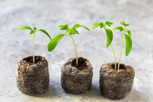 若いトマト植物。泥炭錠剤のトマトの苗