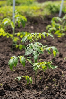 Young tomato seedlings grow in the garden bed in the village
