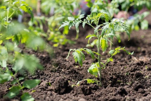 어린 토마토 모종은 마을의 정원 침대에서 자랍니다.