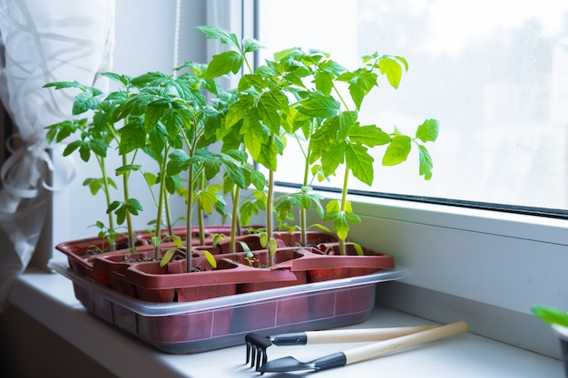 白い窓の上の鍋で若いトマトの苗。窓辺で家で食べ物を育てる方法。緑の植物や家庭菜園を芽します。