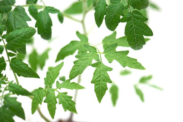 어린 토마토 새싹, 잎이 있는 토마토 녹색 새싹, 클로즈업, 흰색 배경