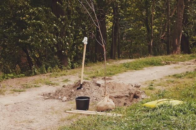 어린 나무 묘목은 삽 옆에 있는 구멍에 놓여 있고 땅에 심을 준비가 되어 있습니다. 영토의 젠트리피케이션 배경. 조경, 자연, 환경 및 생태학의 개념. 복사 공간