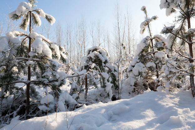 Young trees are covered with snow in winter. frosty sunny weather in the morning. forest after snowfall