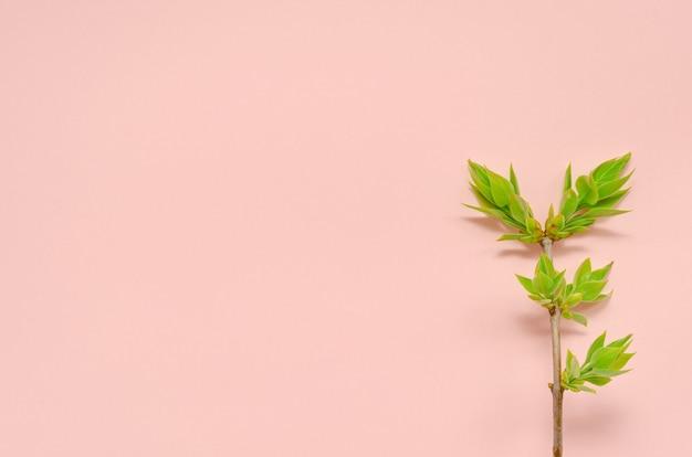 ピンクのテーブルに春の若い新鮮な葉を持つ木の若い小枝。新しいゼロウェイストの自然復活の春のコンセプト。環境保護コピースペース