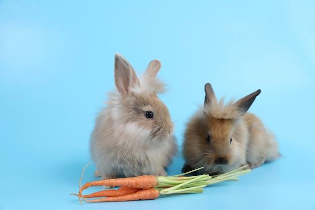 ニンジンを食べる若い2つのかわいい茶色のイースターのウサギのウサギ