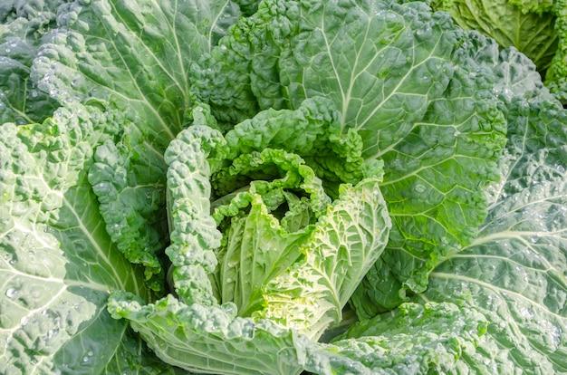 Young unformed swing of savoy cabbage. natural background. brassica oleracea var. sabauda