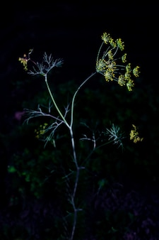 Young uprokpa shoot in the dark. bright yellow seeds. the photo is made in a low key.