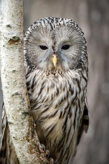 Young ural owl sit in a tree and looking on the the camera